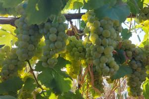 Снимка номер 1 за Продавам грозде мускат отонел