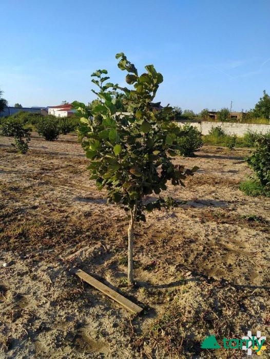 Снимка номер 1 за Разсад от лешник, присаден на дърво.