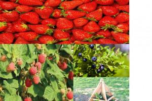 Снимка номер 1 за Предлагам разсад - ягоди, малини и боровинки
