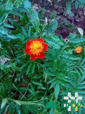 Снимка номер 1 за Тагетес, турско цвете